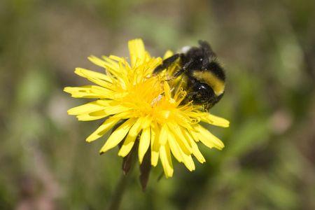 Bee su un dandelion  Archivio Fotografico