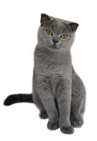 scottish fold cat on white background