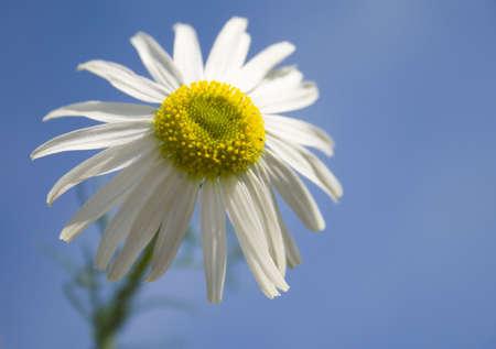 chamomile on blue sky background