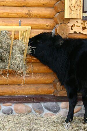 Bull in feeding place  photo