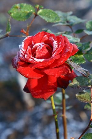red bush: Frosted rose