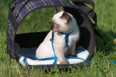 Siamese cat on grass Stock Photo - 5200701