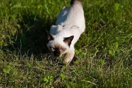 Siamese cat on grass photo