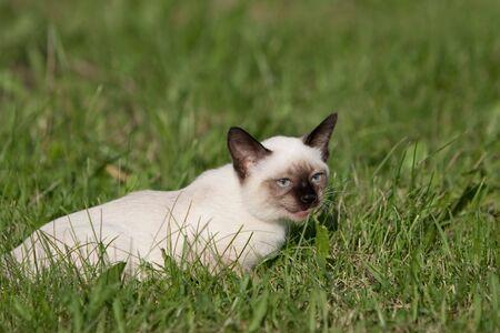 Siamese cat on grass Stock Photo - 5200705