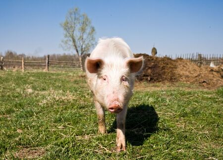 pink pig walking on the grass Stock Photo