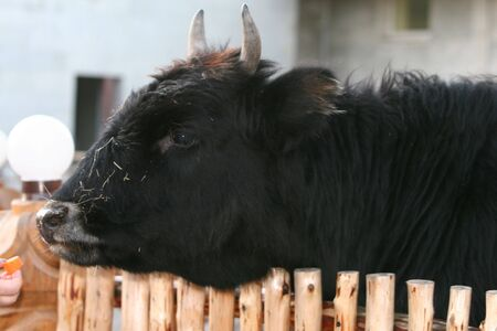 the head of black bulls photo