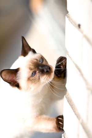 siamese cat hunting for fly