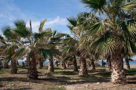 palm trees oasis Stock Photo