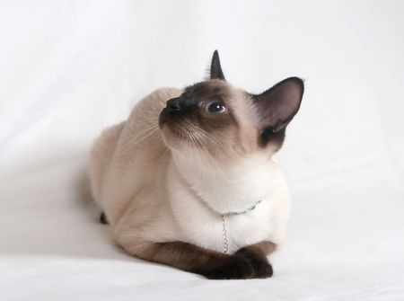 Siamese cat with an ornament on the neck