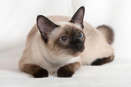 Gatto Siamese con un ornamento sul collo  Archivio Fotografico
