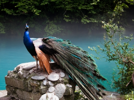 Peacock in the natural environment photo