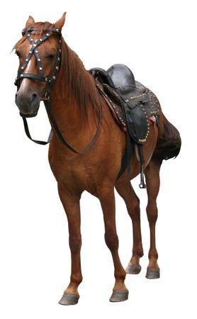 merrie: mooie paard staande op witte achtergrond