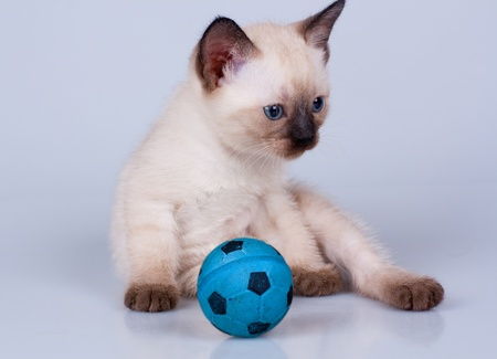 Little siamese kitten with a football Standard-Bild