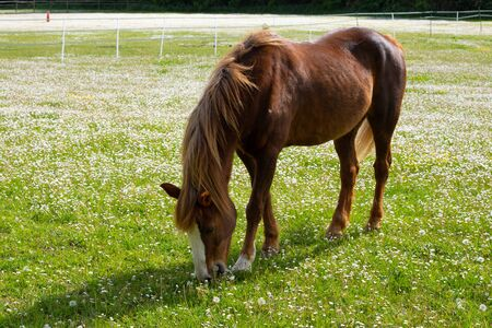 Beautiful brown horse eating grass on summer field during sunny calm day
