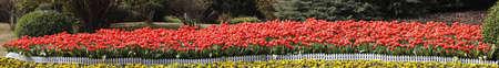 Row of Spring Tulips Stock Photo