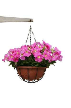 Hanging potted purple flowers isolated on white photo
