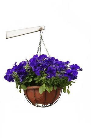 flower basket: Hanging potted purple flowers isolated on white
