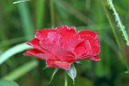 dewdrops: Flower rose with dewdrops