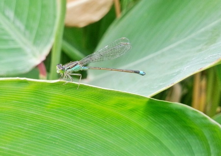 Dragonfly on green leaf Stock Photo