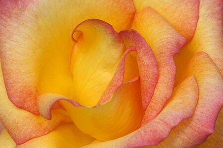 Closeup photo of rose flower Stock Photo