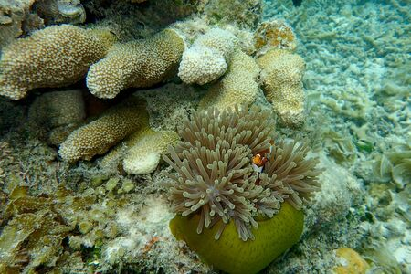 Clown fish and coral under water