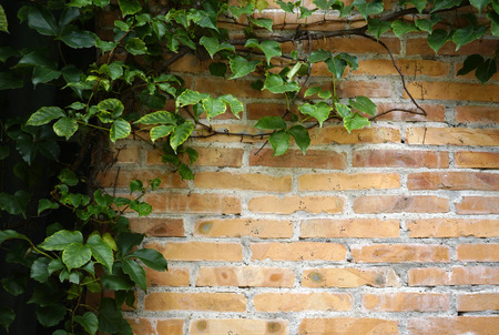 Green leaves over brick wall