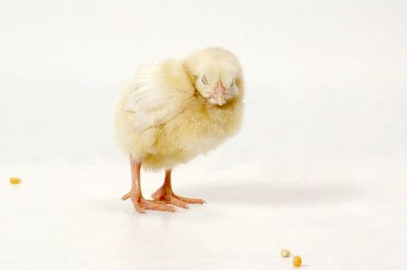white yellow chick Stock Photo - 10763630