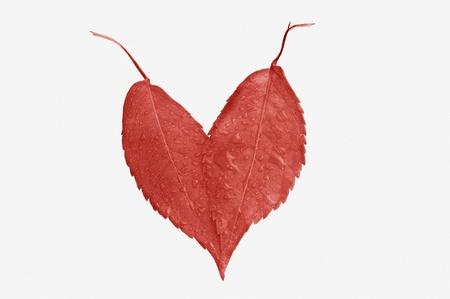 hojas: corazón de hojas rojas