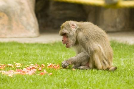 chimpanzee eating photo