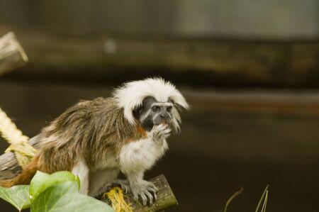 Capuchin monkey tightrope