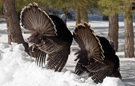 tail fan: Pair of wild male Turkeys, spring mating season.