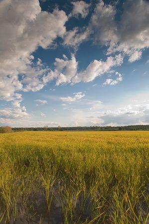 Rice field at ribatejo, portugal