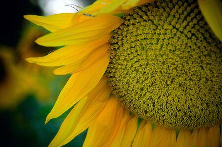 Sunflower blossom detail