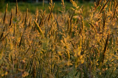 Wild golden plants moving with the wind