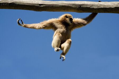 Monkey in action over bright blue sky Stock Photo