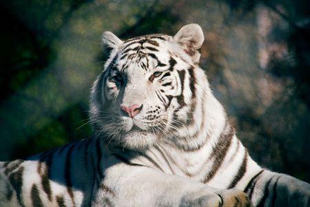Withe tiger portrait