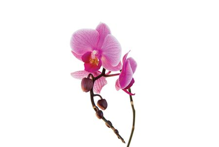 Closeup of a purple orchid isolated on white background