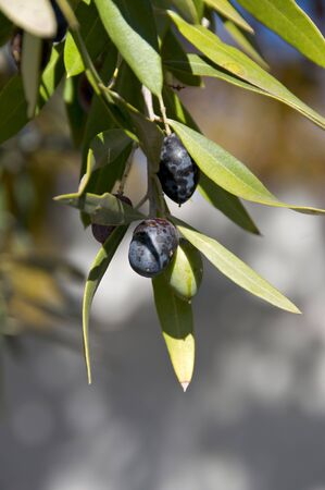 Detail of portuguese olive tree with black olives