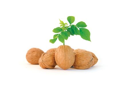 Composition of several walnuts, where one stands out from the crowd