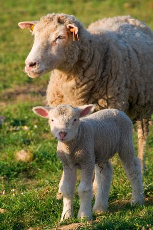 Beautiful baby lamb out in the field with the mother