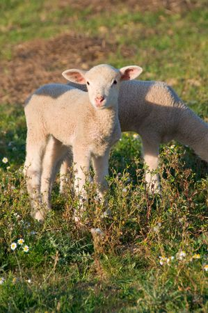 Beautiful baby lamb out in the field Stock Photo