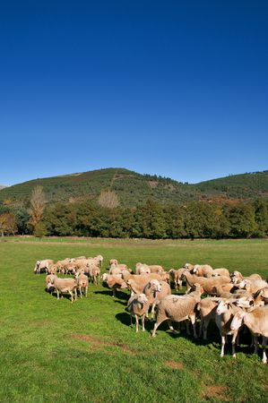 Green meadow and sheeps with S. Mamede Mountain in the background