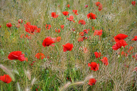poppies in the grass photo