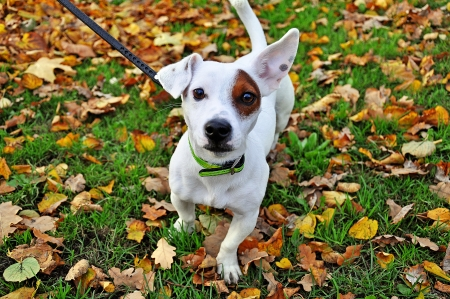 Jack Russell dog breed in the autumn leaves photo