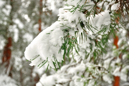 Snowy spruce twig in winter forest photo