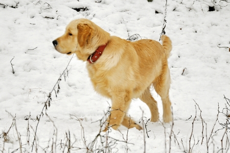 golden labrador retriever standing in the snow photo