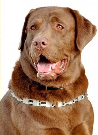 brown Labrador Retriever dog photo