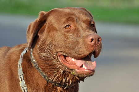Brown labrador dog photo