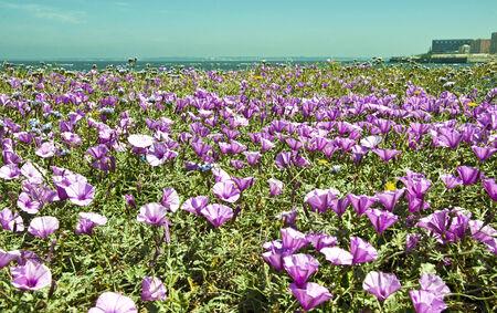 falsely: mauve flowers Stock Photo