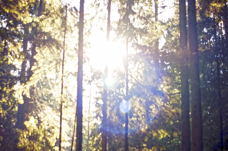sun shining through pine forest photo